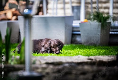 Cuadros en Lienzo Dog Relaxing In Grass