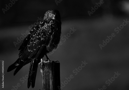 Photo Close-up Of Marsh Harrier Perching On Wooden Post
