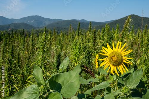 Fotografie, Obraz Scenic View Of Sunflower Field Against Sky