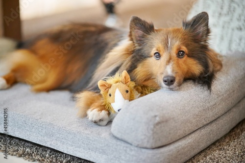 Fotomural A Shetland Sheepdog Sheltie Resting Sleep On The Dog Bed And Looking Direct To Y