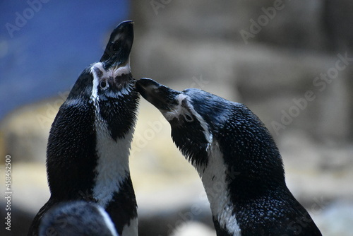 Canvastavla Humboldt Penguins