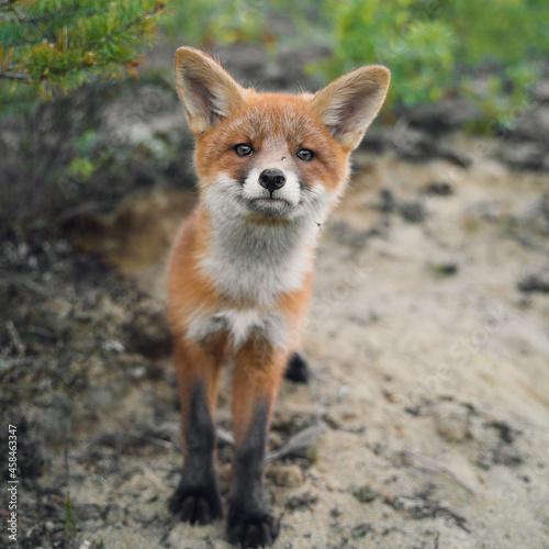 Fototapeta Curious Fox Cub