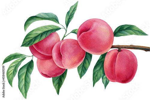 Fototapeta Branch with peaches, fruit peach on isolated white background, watercolor botani