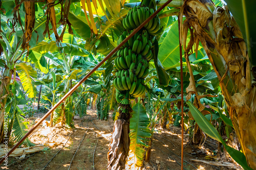 Obraz na plátně Banana plantation, leaves, fruits and flowers, part of the tour and entertainmen