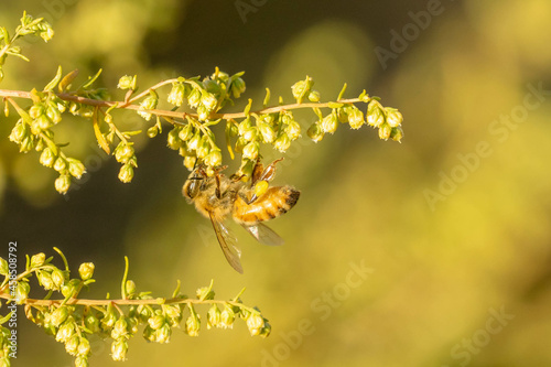 Fototapeta Shallow focus shot of a bee standing upside down on a flower and gathering necta