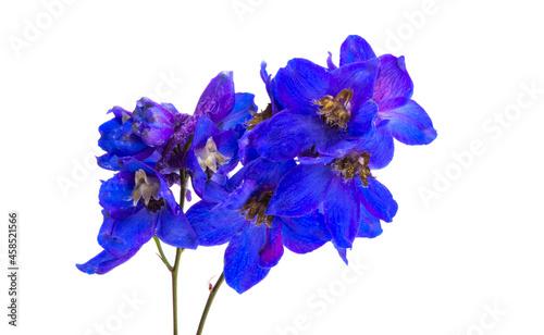 Photographie blue delphinium flower isolated