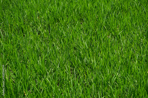 Obraz na plátně a paddy field that is grown with green rice plant