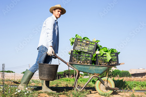 Fototapeta Amateur grower working on vegetable garden on summer day, carrying wheelbarrow w