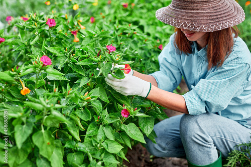 Fototapeta Gardener woman in work gloves plants flowers in home garden