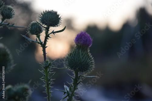 Obraz na plátně thistle in bloom