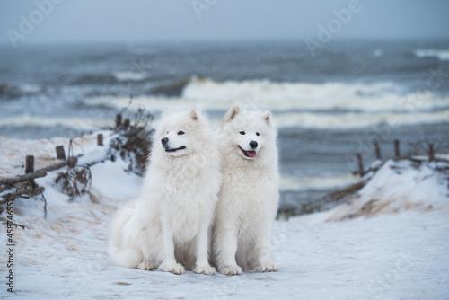 Fotografie, Obraz Two Samoyed white dogs are on snow sea beach in Latvia
