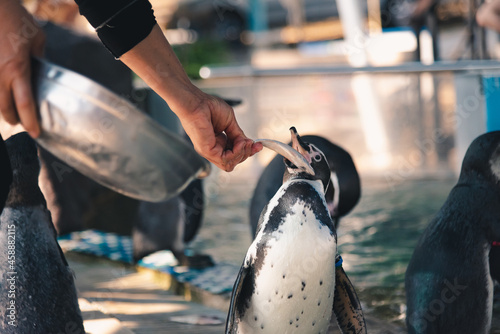Fotografie, Tablou African adorable penguin or Spheniscus demersus also known as the jackass penguin and black-footed penguin