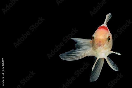 Canvastavla Macro colorful goldfish