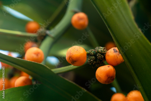 Slika na platnu Ripe seeds of Dracaena fragrans or cornstalk dracaena  commonly known as corn pl