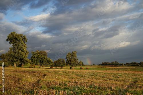 Krowy pasące się na jesiennym pastwisku i tęcza.