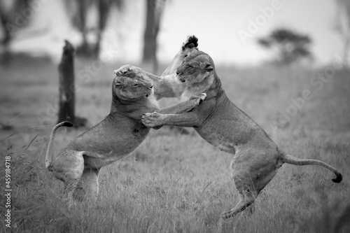 Fotografie, Tablou Mono lionesses play fight on hind legs