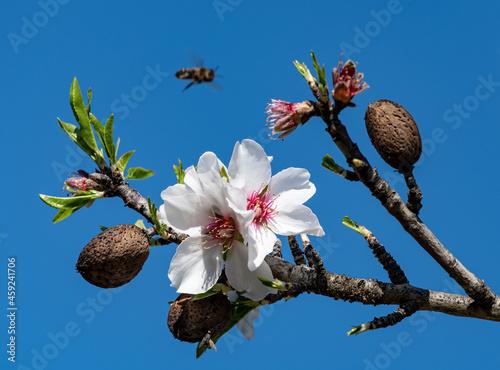 Fotografia Almond tree Algarve Portugal.