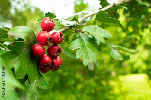 Czerwone owoce na krzaku