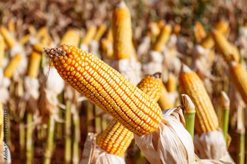 Fotografia, Obraz Espiga e lavoura de Milho no campo