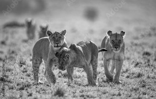 Billede på lærred A lion pride in black and white