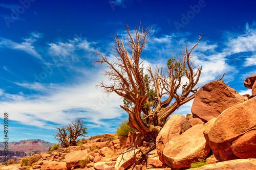 Obraz na plátně Old dead tree at Grand Canyon