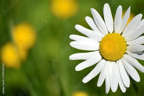 daisy flower closeup Tapéta, Fotótapéta