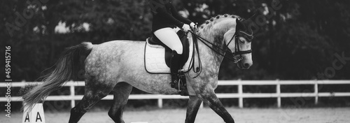 Fotografiet Dressage horse white, close-up of the horse's body from the side, closely cropped with the rider in the bleed, the picture is in black and white with a matt look