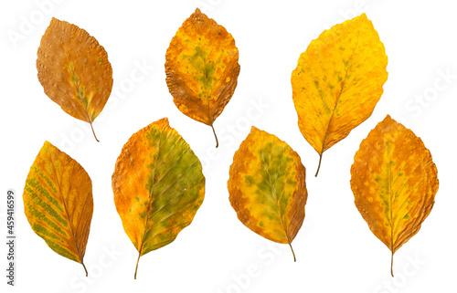 Jesienne liście buku