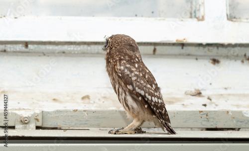 Obraz na plátně Little owl (Athene noctua), also known as the owl of Athena or owl of Minerva
