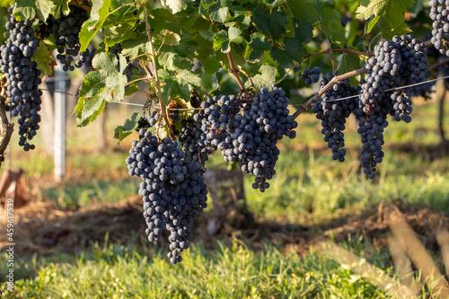 Close up of red merlot grapes in vineyard Fototapet