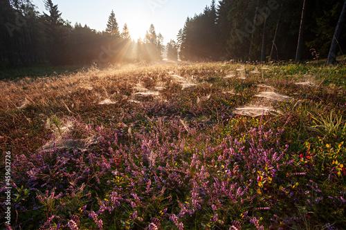 Fotografie, Obraz Blühendes Heidekraut im Gegenlicht