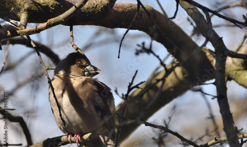 Fotografiet hawfinch perched on a branch