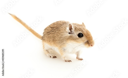 Canvas Print Cute small gerbil on wight background