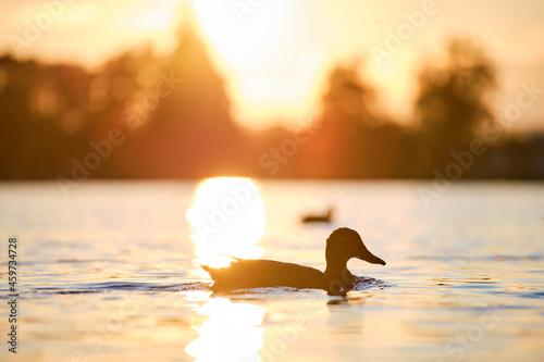 Fotografie, Obraz Wild ducks swimming on lake water at bright sunset