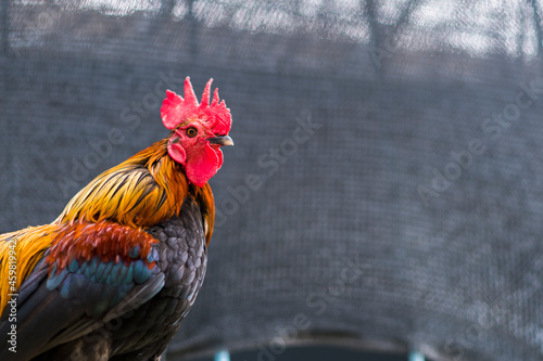 Photo Portrait of a standing chicken