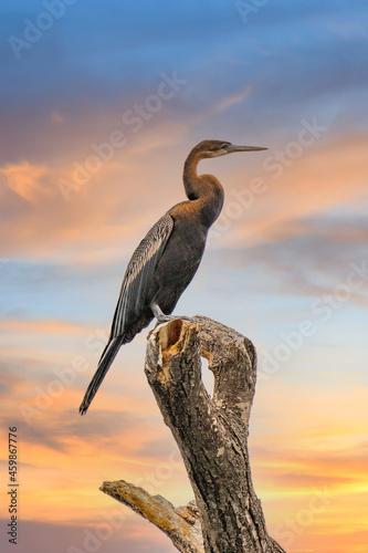 Tela Great Blue Heron (Ardea Herodias) standing in a marsh