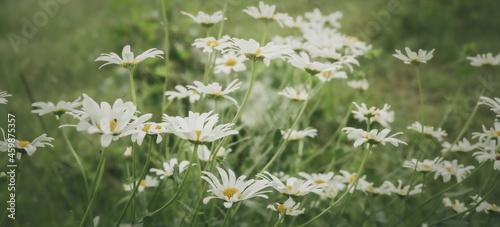 Wiosenne tło z polnymi kwiatami. Stokrotki na łące.