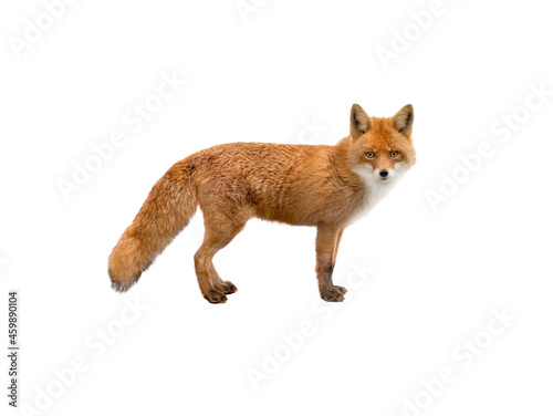 beautiful fox of orange color isolated on white background Fototapet