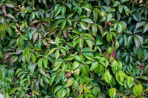 Murais de parede Parthenocissus quinquefolia, known as Virginia creeper, Victoria creeper, five-leaved ivy