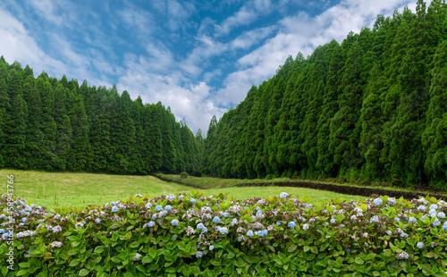 Fotografiet Floresta de critomérias da espécie  Cryptomeria japonica, Cupressus, na Ilha Ter