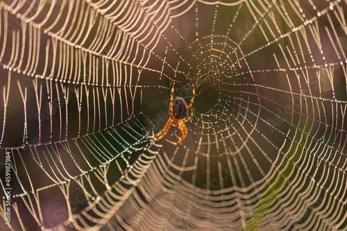 Fotografiet Close-up of an European garden spider (cross spider, Araneus diadematus) in its