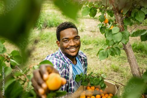 Fotografiet Farmer showing harvest of fresh sweet apricots