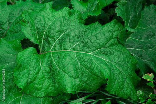 Fotografia Big green bush fresh burdock leaf closeup