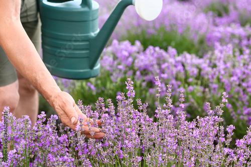 Fotografie, Obraz Farmer with watering can in lavender field