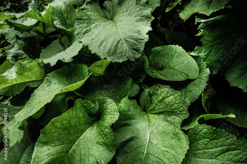 Tela Large burdock leaves in the forest close up
