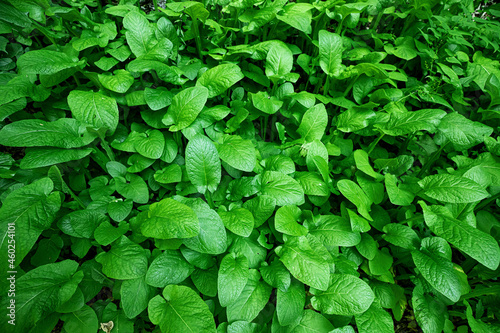 Fotografia Leaves of burdock or other perennial succulent grass in the lower tier of the forest