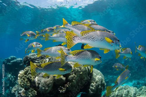 Foto black strips and dots yellowfin Fish swimming around coral reef, photo taken und