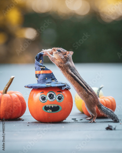 Canvastavla A chipmunk collects nuts and seeds from pumpkins in October