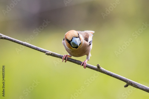 Hawfinch (Coccothraustes coccothraustes) on twig looking in the camera Fototapet