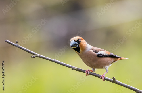 Fotografiet Hawfinch (Coccothraustes coccothraustes) on twig looking in the camera